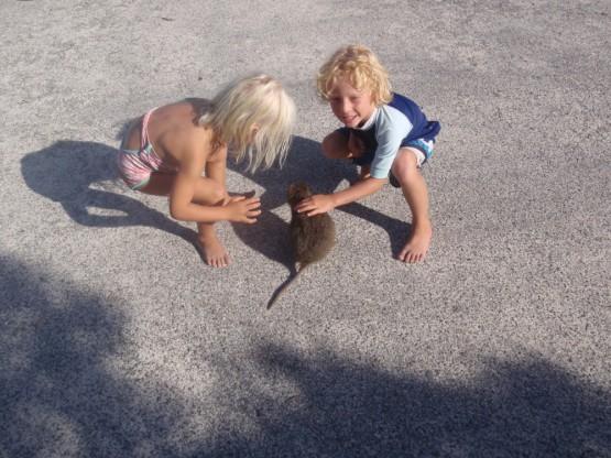 what's that? a kangaroo? a rat? no , a quokka!!