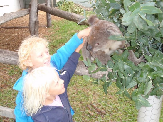 this koala was very friendly, probably stoned on a large dose of eucalyptus