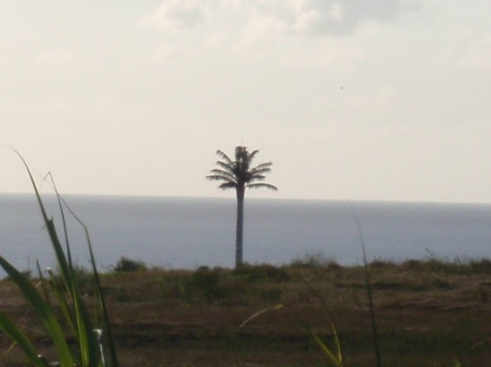 a very tall and very straight palm tree